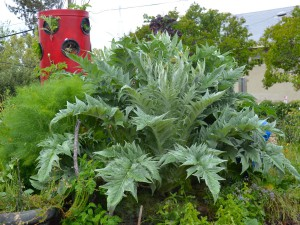 This is a Cardoon- a California native cousin of the atrichoke.