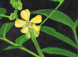 Drawing done by Los Gatos High student Emily Blaker featuring Cassia hirsuta L. from the students' plant database