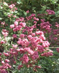 Eriogonum-grande-rubescens-Alrie
