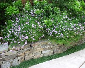 Verbena-lilacina-Alrie