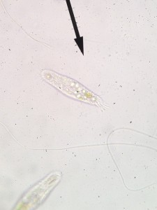 Ciliate - Paramecium - from Middlebrook Center's aquaponics system