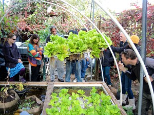 Lettuce in Aquaponics systems grows longer root structure that gives a bigger and healthier head of lettuce.