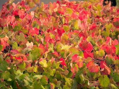 Vitis californica when fall comes