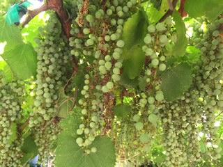 California Wild Grape in the summer