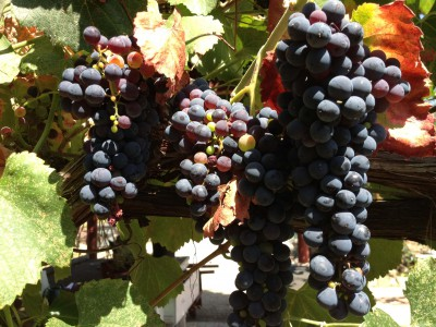 Purple grapes (mid-late summer)