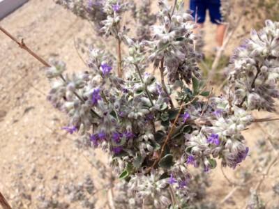 Desert Lavender flowers