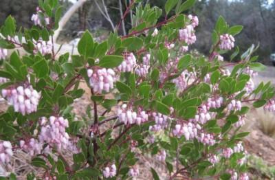 Manzanita 'Howard McMinn' blooms